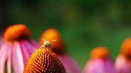 Bee And Purple Coneflower (Echinacea Purpurea) Footage