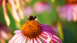 Bumble-bee And Purple Coneflower (Echinacea Purpurea) Footage