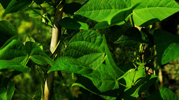 Beans On The Vine In Garden stock footage