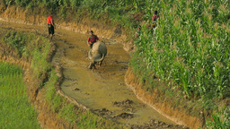 Vietnamese farmer work in a rice field with water buffalo in Sapa Footage