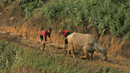 Vietnamese farmer work in a rice field with water buffalo Footage
