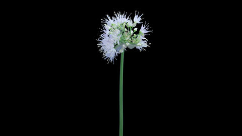 Time-lapse of opening onion flower umbel in RGB + ALPHA matte format Footage