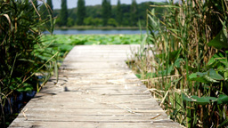 Wooden Pier On Lake With Reed And Lotus Leaf.Trees In Background stock footage
