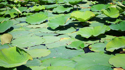 Lotus Leaves On The Lake Footage