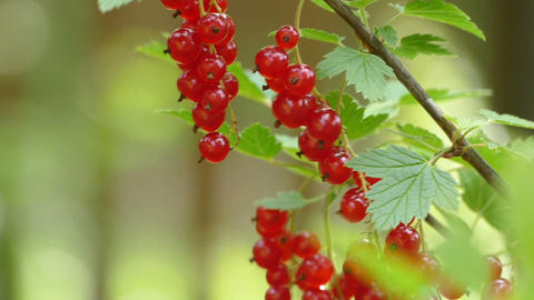 Red currants on a bush in the wind Footage