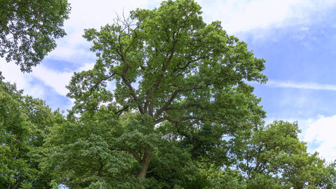 Treetop With Its Green Leaves In Summer stock footage