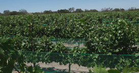 Steadicam Grape Fields And Vineyards stock footage