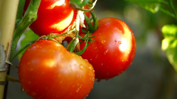 Organic Tomatoes In My Garden, After Rain,Reed Stake, Tilt Filmmaterial