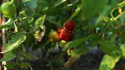 Organic Tomatoes In My Garden With Morning Sunshine Footage