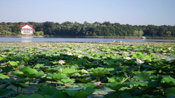 Morning On The Lake With Birds And Lotus Flowers Footage