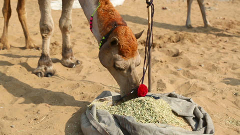 The decorated camel Footage