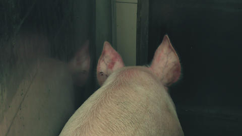 Hog Being Stunned By Electronarcosis In Slaughterhouse Live Action