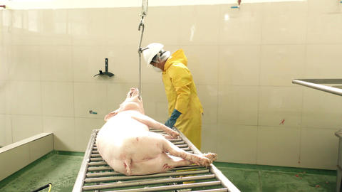 Pig Carcass Being Hoisted To The Line In Authentic Butchery Shop Live Action
