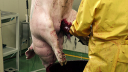 Pig sticking on bleeding rail in slaughterhouse Footage
