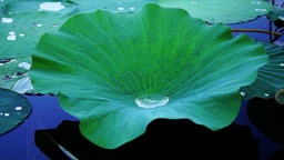 Water Drop On Lotus Leaf, Moving Slowly Footage