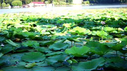 Morning On The Lake With Birds And Lotus Flowers, Pan Footage