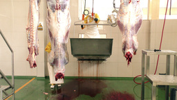 Inside Of A Slaughterhouse Cattle Preparation Room stock footage