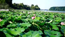 Lotus Flowers, Lake, Kayaks, Forest Footage