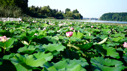Lotus Flowers, Lake, Kayaks, Forest, Garage for Boats Footage