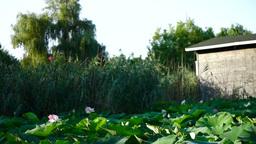 Lotus Flowers, Lake, Kayaks,Garage for Boats, Trees Footage