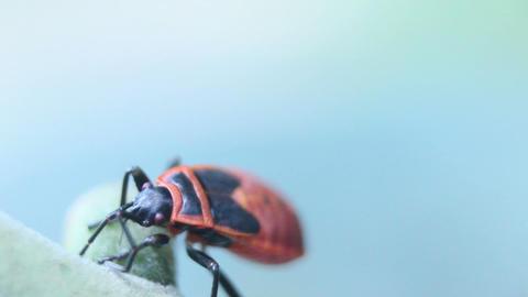 Apterus On Leaf Macro Closeup stock footage