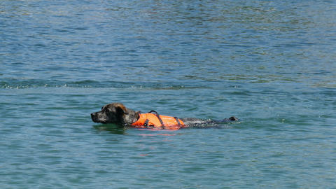 rescue dog swimming Live Action