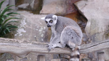 Ring tailed lemur sitting on branch Footage