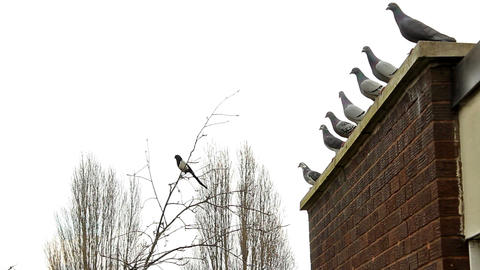 Magpie Sitting On The Tip Of The Tree And Pigeons On The Roof stock footage