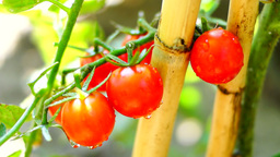 Cherry, Organic, Delicious, Ripe Tomatoes In My Garden, After Rain Footage