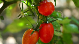 Cherry, Organic, Delicious, Ripe Tomatoes In My Garden, After Rain, Tilt Footage