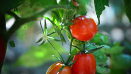 Cherry, OrganicTomatoes In My Sunny Garden, Changing Focus Footage