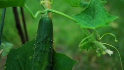 Organic Cucumber (Cucumis sativus) With Flower And Tendrils on the Vine Footage