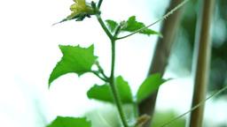 Organic Cucumber (Cucumis sativus) on the Vine in My Vegetable Garden Footage