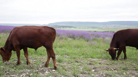 Young bull-calves are grazed near a lavender field Footage