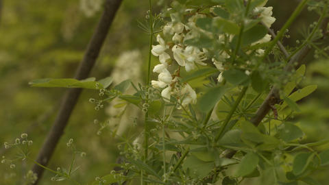 White Flowers Blowing In The Wind stock footage
