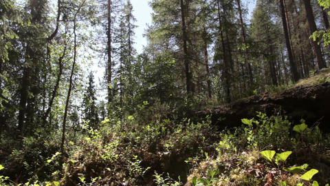 Northern forest Footage