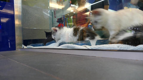 Pet Shop Cats - 02 - Kittens Playing in Vitrine Footage