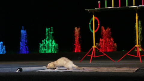 Tame Marten Rolling Out the Carpet in Circus Footage