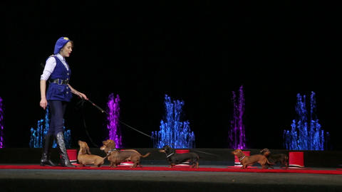 Circus performing with group of trained dogs Footage