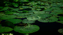 Water Drops On Lotus Leaves (Nelumbo Nucifera) Footage