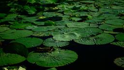 Water Drops On Lotus Leaves (Nelumbo Nucifera) Footage