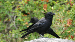 Black Ravens - Wild Forest - Rock Stone stock footage