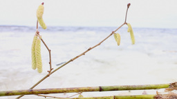 symbolism of spring, a branch of hazel Footage