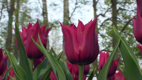 Tulipa Lasting Love Stock Video Footage