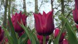 Tulipa Lasting Love Footage