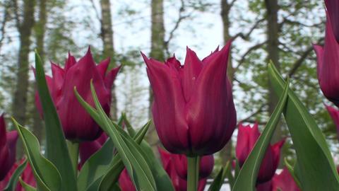 Tulipa Lasting Love Stock Video Footage
