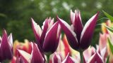 Tulipa Rajka Footage