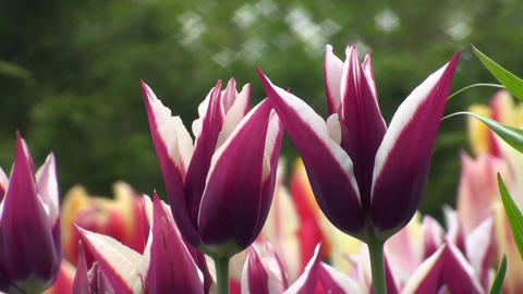 Tulipa Rajka Stock Video Footage