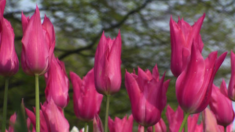 Tulipa Mariette Stock Video Footage