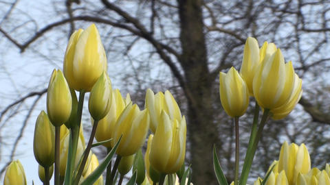 Tulipa Colour Spectacle Stock Video Footage